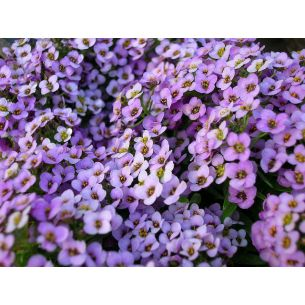 Alyssum Koningstapijt purperviolet