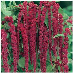 Amaranthus Kattenstaart rood